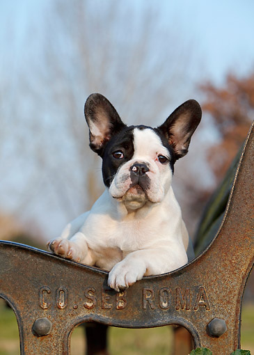 PUP 18 CB0031 01 © Kimball Stock Portrait Of French Bulldog Puppy Laying On Bench