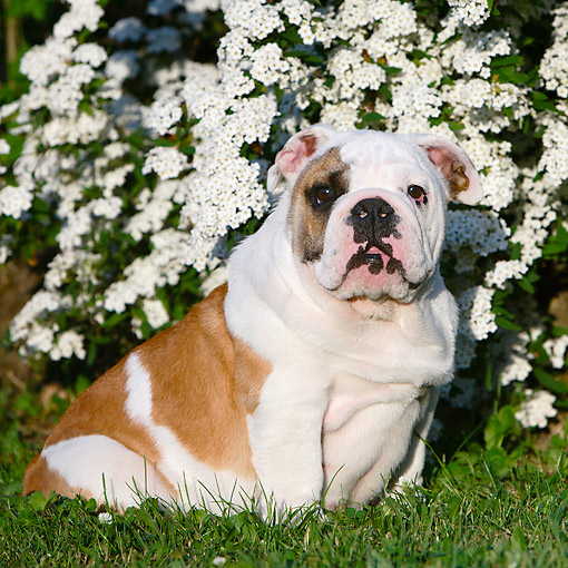 PUP 18 CB0035 01 © Kimball Stock English Bulldog Puppy Sitting In Grass By Flowers