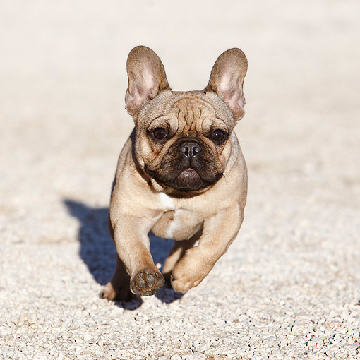 PUP 18 CB0039 01 © Kimball Stock French Bulldog Puppy Running