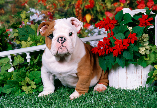 PUP 18 FA0017 01 © Kimball Stock Bulldog Puppy Sitting On Grass By Flower Pot.