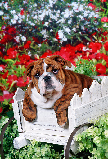 PUP 18 FA0018 01 © Kimball Stock Bulldog Puppy Sitting In Wooden Wagon.