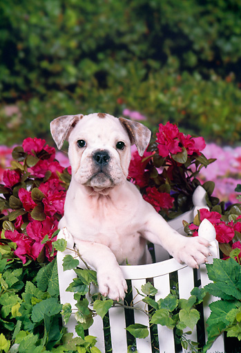 PUP 18 FA0020 01 © Kimball Stock English Bulldog Puppy Leaning On Wooden Gate In Garden