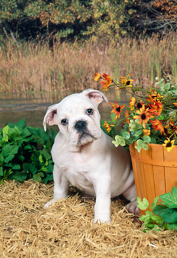 PUP 18 FA0022 01 © Kimball Stock English Bulldog Puppy Sitting On Hay By Yellow Flowers And Pond