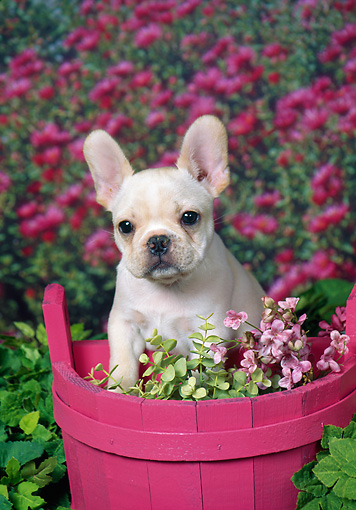PUP 18 FA0028 01 © Kimball Stock French Bulldog Puppy Sitting In Pink Planter Box