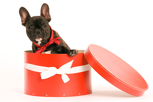 PUP 18 JE0001 01 © Kimball Stock French Bulldog Puppy Peeking Out Of Red Hat Box Seamless