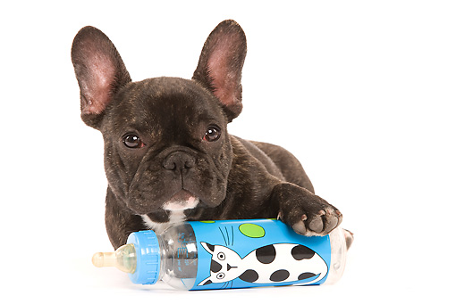 PUP 18 JE0003 01 © Kimball Stock French Bulldog Puppy Laying With Baby Bottle Seamless