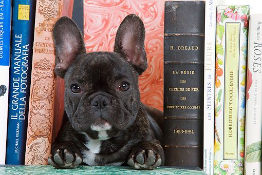 PUP 18 JE0004 01 © Kimball Stock French Bulldog Puppy Laying Between Books