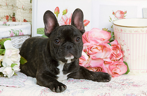 PUP 18 JE0005 01 © Kimball Stock French Bulldog Puppy Laying By Pink Roses
