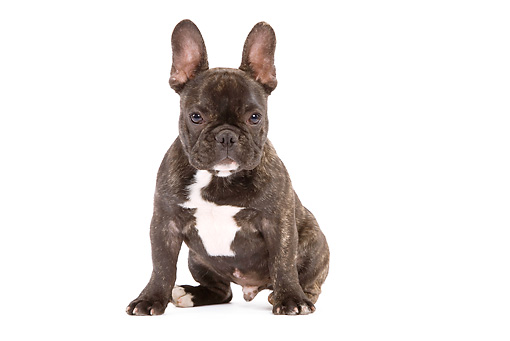 PUP 18 JE0006 01 © Kimball Stock French Bulldog Puppy Sitting On White Seamless