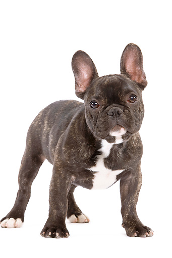 PUP 18 JE0007 01 © Kimball Stock French Bulldog Puppy Standing On White Seamless