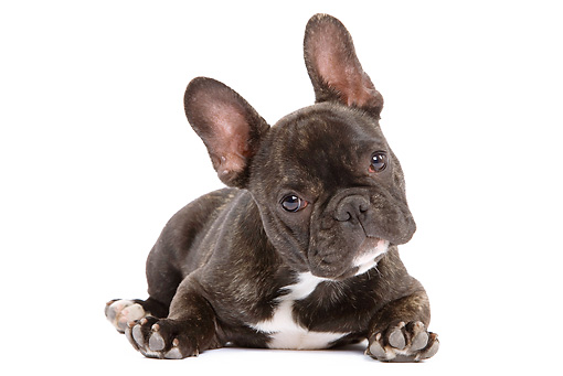 PUP 18 JE0008 01 © Kimball Stock French Bulldog Puppy Laying On White Seamless