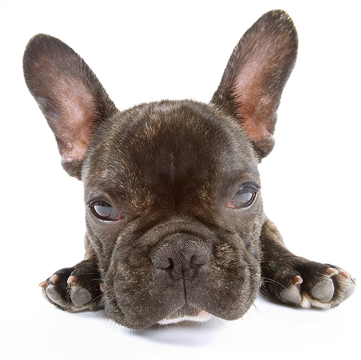 PUP 18 JE0009 01 © Kimball Stock French Bulldog Puppy Laying On White Seamless