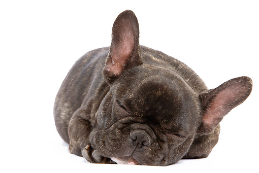 PUP 18 JE0010 01 © Kimball Stock French Bulldog Puppy Sleeping On White Seamless