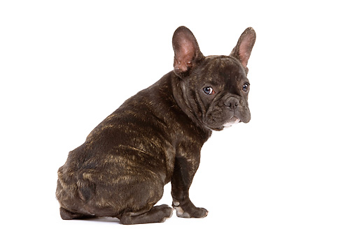 PUP 18 JE0011 01 © Kimball Stock French Bulldog Puppy Sitting On White Seamless