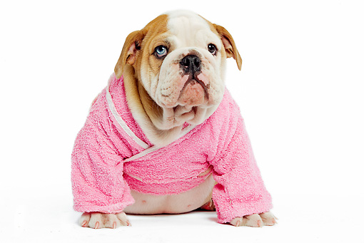 PUP 18 JE0013 01 © Kimball Stock English Bulldog Puppy Wearing Pink Robe Sitting On White Seamless