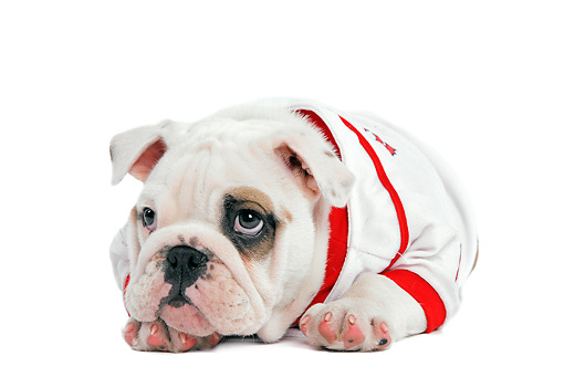 PUP 18 JE0016 01 © Kimball Stock English Bulldog Puppy Wearing Baseball Jersey Laying On White Seamless