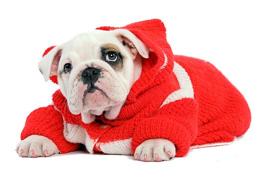 PUP 18 JE0017 01 © Kimball Stock English Bulldog Puppy Wearing Red And White Sweater Laying On White Seamless