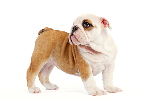 PUP 18 JE0019 01 © Kimball Stock English Bulldog Puppy Standing On White Seamless