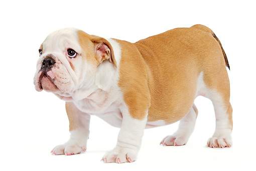 PUP 18 JE0020 01 © Kimball Stock English Bulldog Puppy Standing On White Seamless