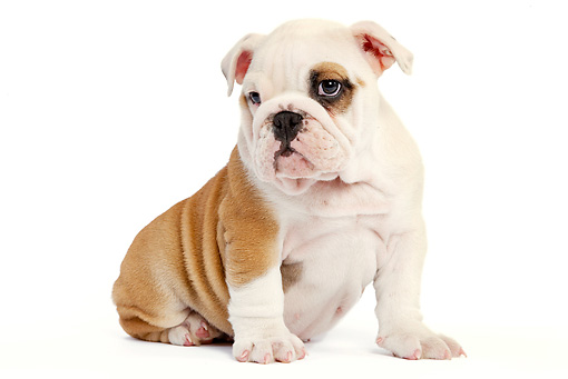 PUP 18 JE0021 01 © Kimball Stock English Bulldog Puppy Sitting On White Seamless