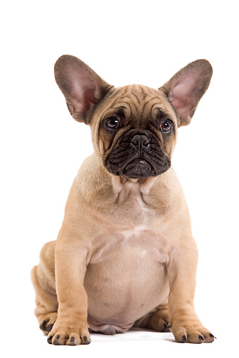 PUP 18 JE0031 01 © Kimball Stock French Bulldog Puppy Sitting On White Seamless