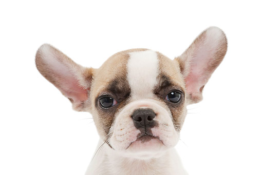 PUP 18 JE0034 01 © Kimball Stock Head Shot Of French Bulldog Puppy On White Seamless