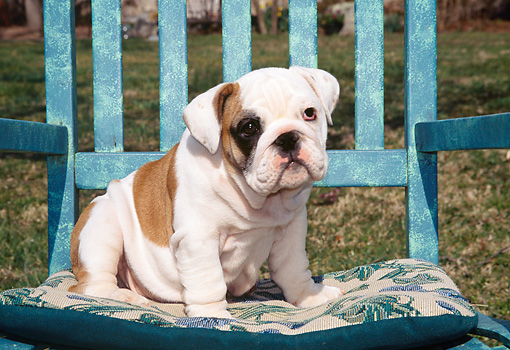 PUP 18 JN0001 01 © Kimball Stock English Bulldog Puppy Sitting On Blue Chair Outdoors