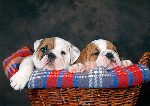PUP 18 KH0014 01 © Kimball Stock Two Bulldog Puppies Laying In Dog Bed Studio