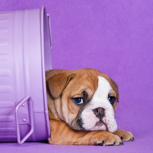 PUP 18 KH0017 01 © Kimball Stock English Bulldog Puppy Hiding In Purple Trash Can In Studio