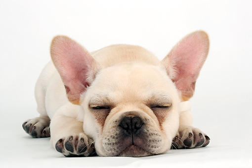 PUP 18 MR0007 01 © Kimball Stock French Bulldog Puppy Sleeping On White Seamless