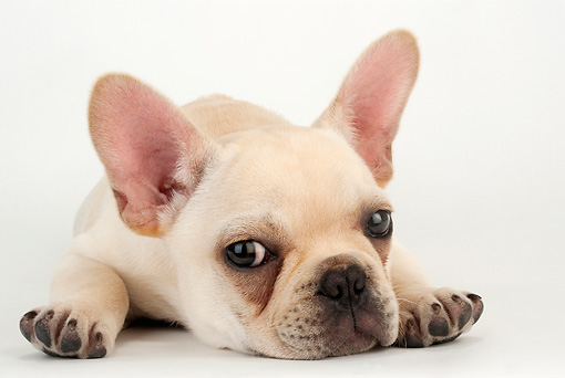 PUP 18 MR0008 01 © Kimball Stock French Bulldog Puppy Laying On White Seamless