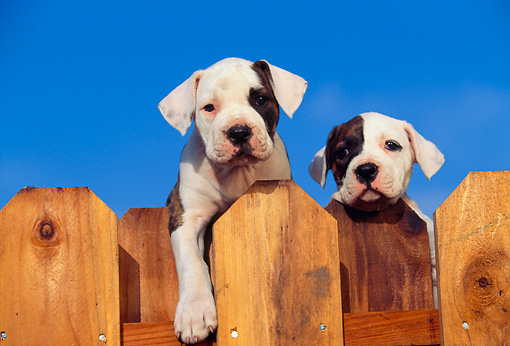 PUP 18 RK0001 06 © Kimball Stock Two American Bulldog Puppies Peeking Over Fence