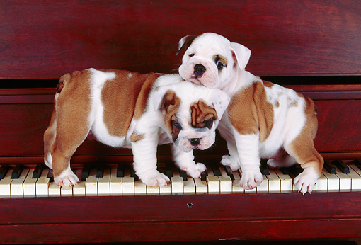 PUP 18 RK0023 09 © Kimball Stock English Bulldog Puppies Standing On Piano Keys