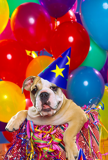 PUP 18 RK0091 07 © Kimball Stock Head Shot Of English Bulldog Wearing Party Hat Balloons Background