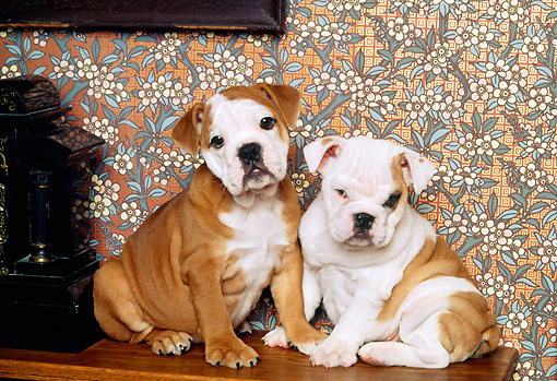 PUP 18 RK0106 10 © Kimball Stock Two English Bulldog Puppies Sitting On Mantle By Clock