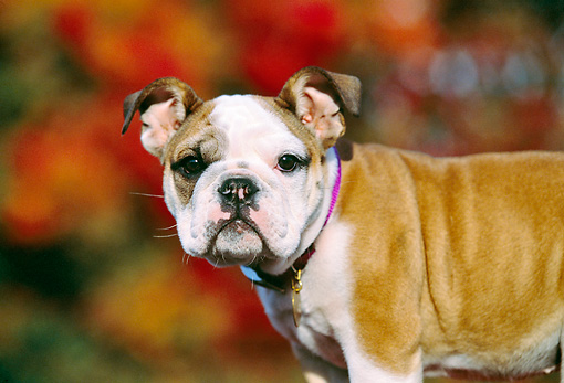 PUP 18 RK0194 03 © Kimball Stock Close Up Profile Shot Of English Bulldog Standing Blurry Fall Trees Background