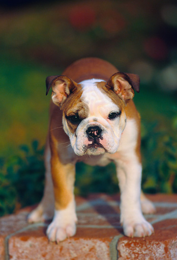 PUP 18 RK0197 01 © Kimball Stock English Bulldog Standing On Brick Pedestal