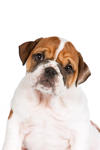 PUP 18 RK0219 01 © Kimball Stock Head Shot Of English Bulldog Puppy Sitting On White Seamless