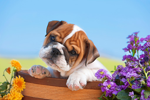 PUP 18 RK0231 01 © Kimball Stock English Bulldog Puppy Peeking Out Of Flower Pot By Flowers