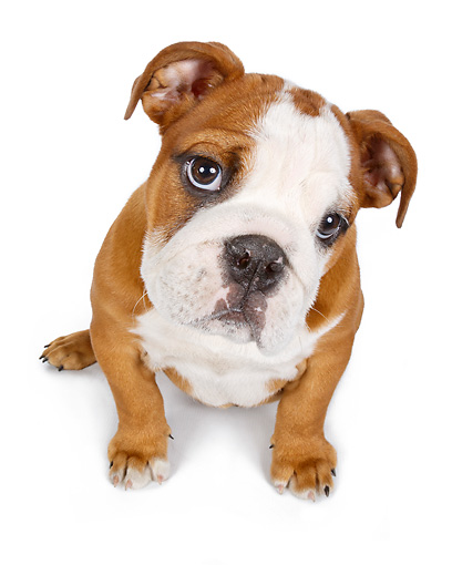 PUP 18 RK0234 01 © Kimball Stock English Bulldog Puppy Sitting On White Seamless