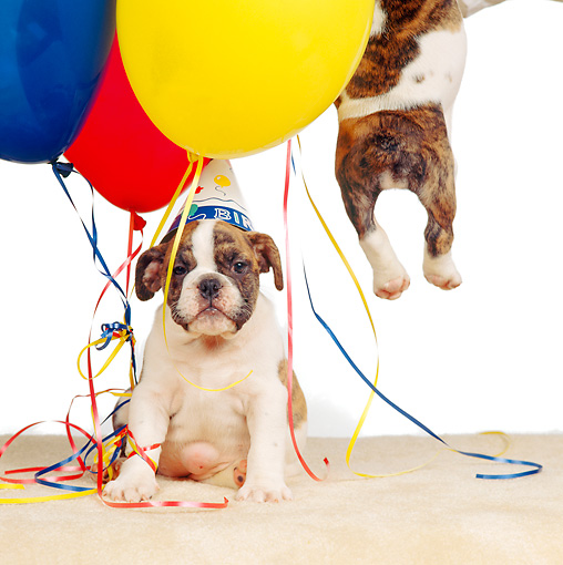 PUP 18 RS0022 02 © Kimball Stock Bulldog Puppies With Balloons And Present