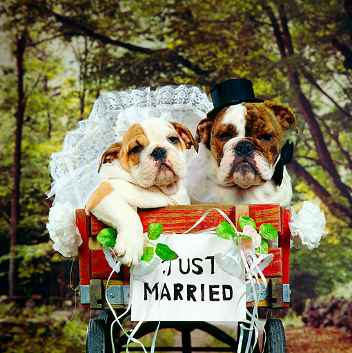 PUP 18 RS0050 01 © Kimball Stock Bride And Groom Bulldog Puppies Sitting In Red Wagon Just Married