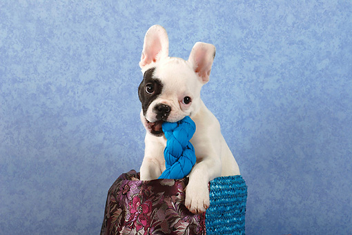 PUP 18 SJ0001 01 © Kimball Stock French Bulldog Puppy Sitting In Basket Chewing On Toy In Studio