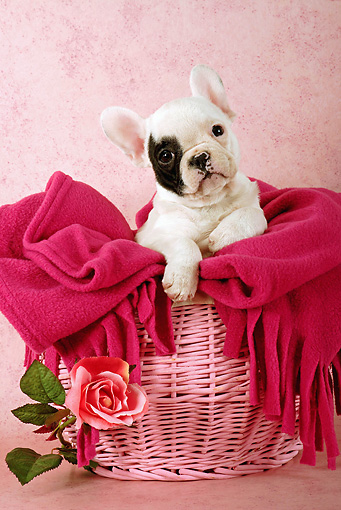 PUP 18 SJ0002 01 © Kimball Stock French Bulldog Puppy Sitting In Pink Basket With Blanket In Studio