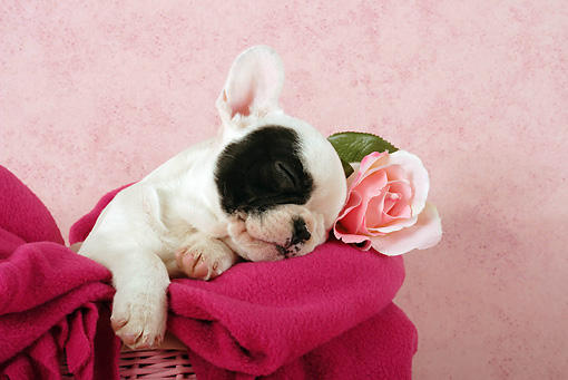 PUP 18 SJ0003 01 © Kimball Stock French Bulldog Puppy Sleeping In Pink Basket With Blanket In Studio