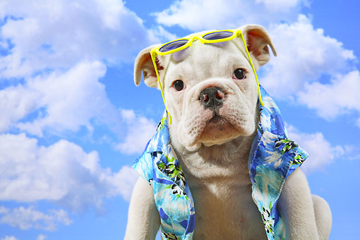 PUP 18 XA0001 01 © Kimball Stock English Bulldog Puppy Wearing Hawaiian Shirt And Sunglasses