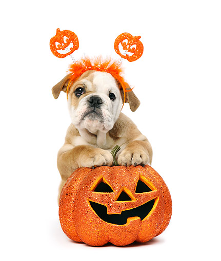 PUP 18 XA0011 01 © Kimball Stock Bulldog Puppy Sitting With Jack-o-Lantern