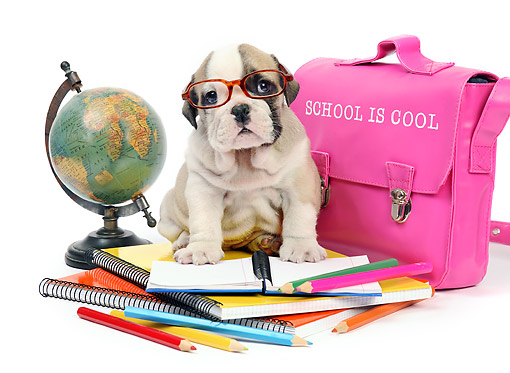 PUP 18 XA0017 01 © Kimball Stock Bulldog Puppy Sitting On Books With Globe And
