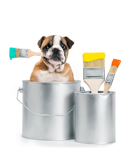 PUP 18 XA0019 01 © Kimball Stock Bulldog Puppy Sitting In Paint Can