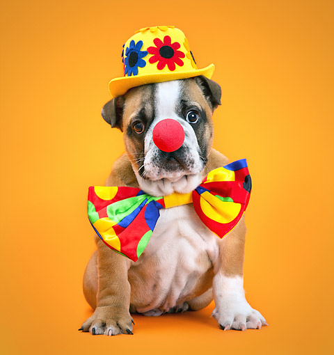 PUP 18 XA0022 01 © Kimball Stock Bulldog Puppy Sitting With Clowns